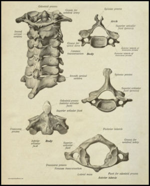 Cervical Spinal vertebrae