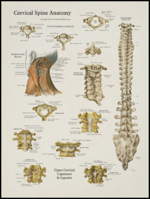 Cervical Spinal Anatomy