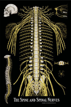 Spine and Spinal Nerves