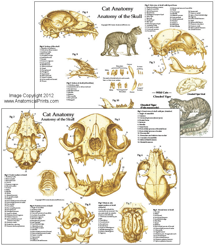 Cat Skull Anatomy Chart