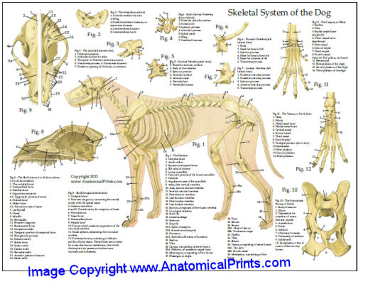 Dog Anatomy Laminated Chart