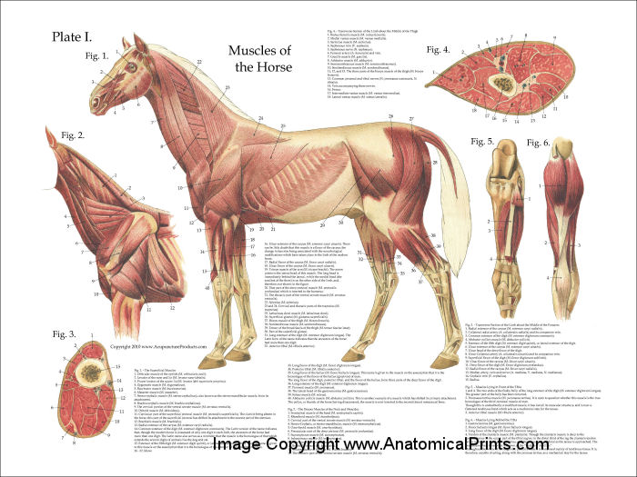 Horse Muscle Anatomy Poster