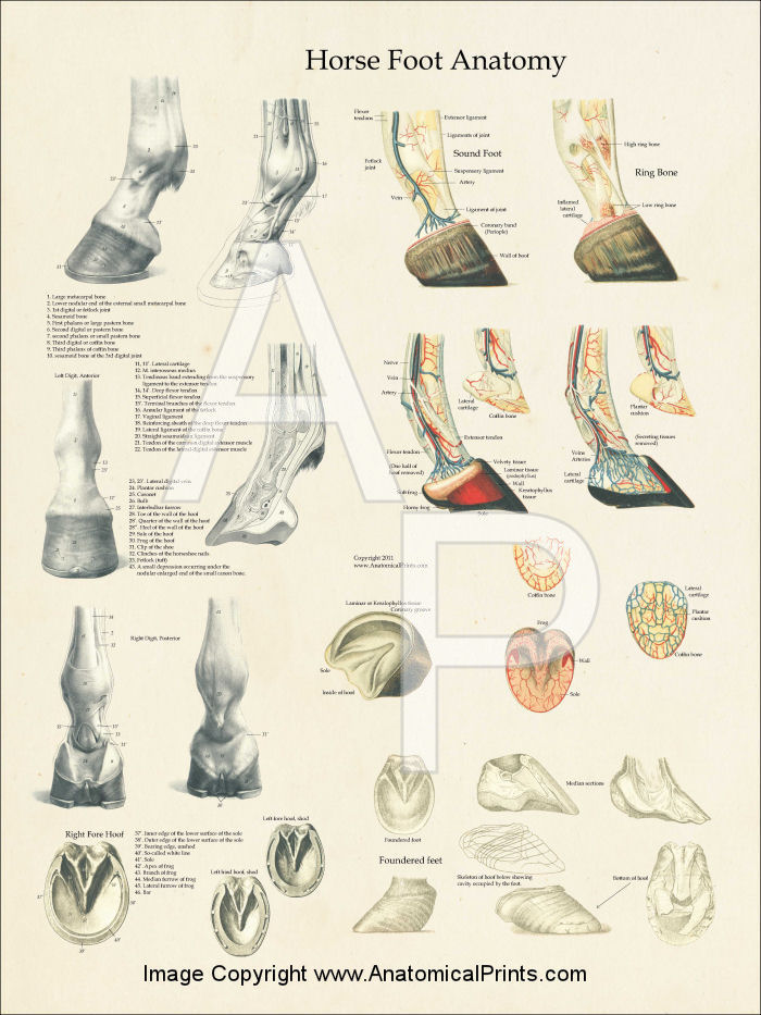 Horse Foot Anatomy Laminated Poster