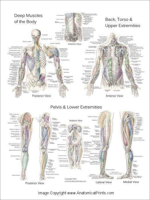 Deep Muscle Anatomy Poster