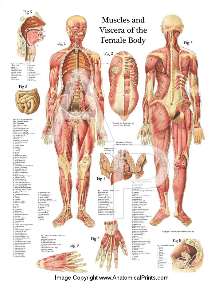 Female Muscle Anatomy Poster