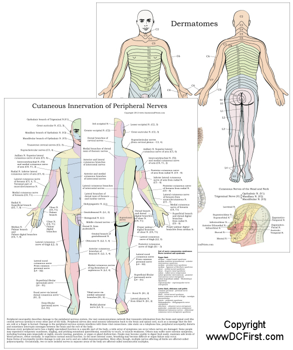 Dermatome Peripheral Nerves Chart