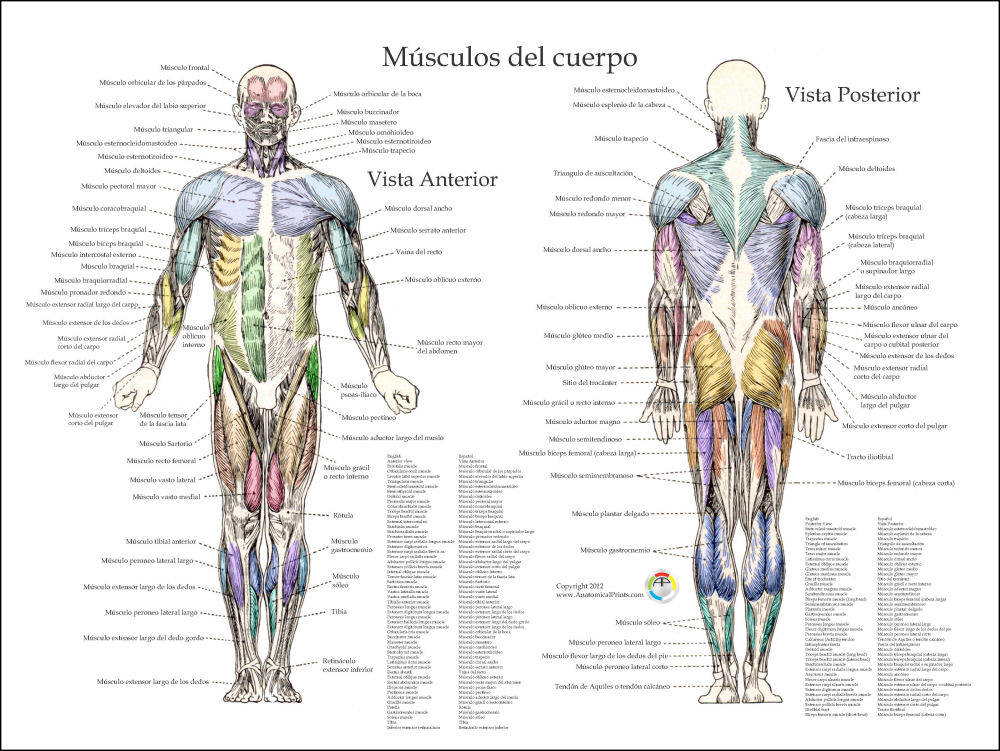Spanish Muscle Anatomy Posters