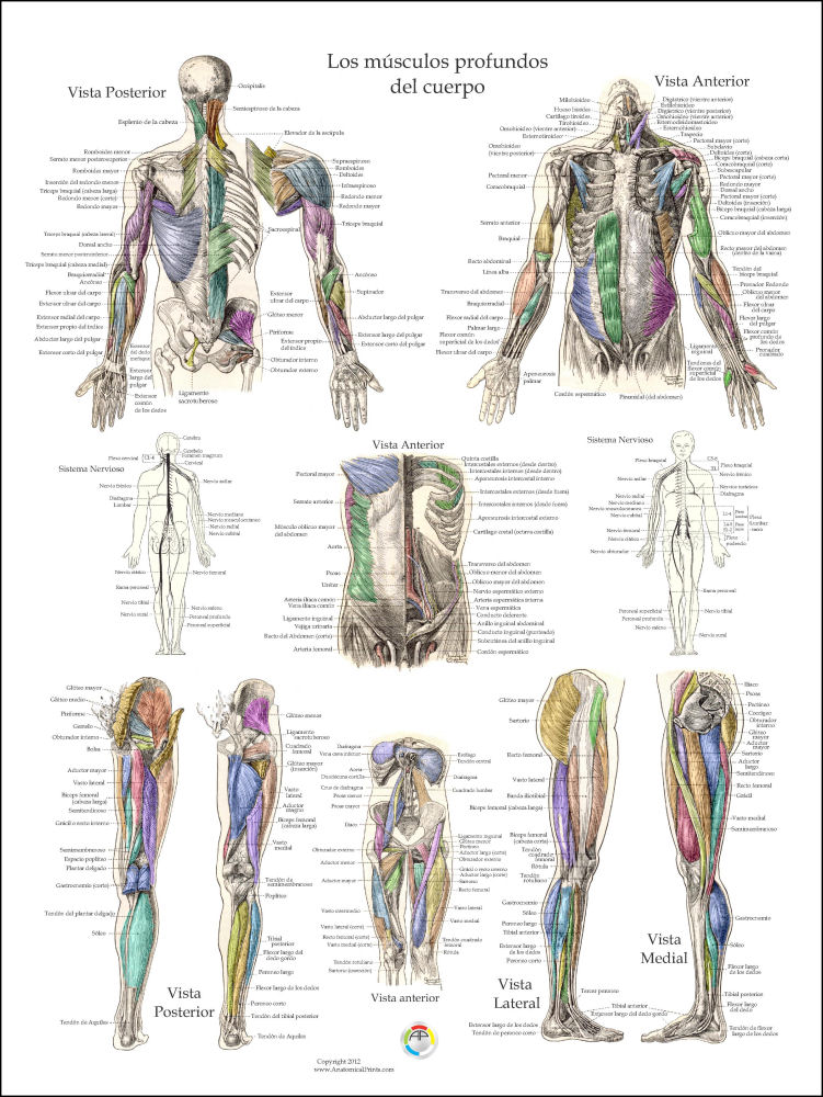 Muscle Anatomy Posters in Spanish